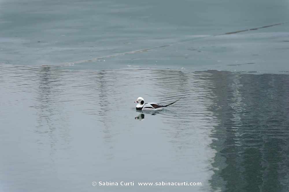 Long-Tailed Duck, Oldsquaw, Humber Bay Park, Toronto Ontario