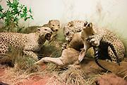 AFrica Museum Tervuren. Opgezette dieren.
