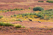 A female grizzly bear with cubs crosses the colorful tundra in Denali National Park, Alaska.