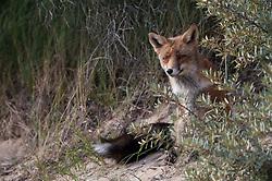 Vos in duinengebied; Red fox in the Dunes