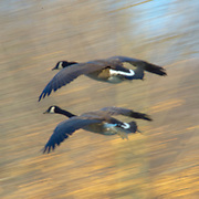 Canadian Geese in Flight, Fairmount Park, Philadelphia, PA, Winter 2010
