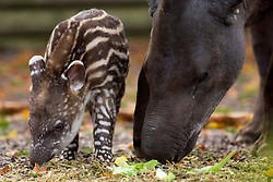 "© Licensed to London News Pictures. 02/11/2012. Twycross Zoo, Warwickshire, UK. After a thirteen month wait, Muffin a Brazilian Tapir has given birth to a tiny toddling stripey spotty baby Tapir. Keepers at Twycross Zoo in Warwickshire have nick named the baby Tapir, ""Humbug"" after her distinctive furry coat. Brazilian Tapirs, also known as Lowland Tapirs are stockier than other species of Tapir and sport a thick mane of fur down their backs which is thought acts to protect them in the wild from predators like Jaguars who target the neck area. Humbugs dark brown coat, stripes and spots, will disappear as she gets older, she will merge in along with mother Muffin and father Pele, eventually becoming a dark grey colour.Photo credit : Dave Warren/LNP"
