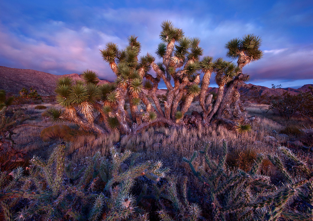 Joshua Trees, Virgin Mountains, USA.