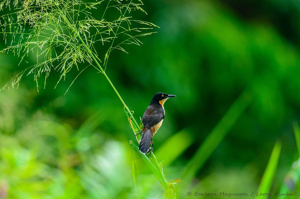 Black-Capped Donacobius [Donacobius atricapillus] perched along Anangu Creek; Napo Wildlife Center, Ecuador