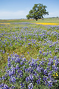Blue lupin / lupine (Lupinus genus) and yellow wildflowers bloom around a majestic oak tree at North Table Mountain Biological Reserve, April 7, 2014, Oroville, California, USA. Created by ancient lava (basalt) flows, Table Mountain is an elevated basalt mesa with beautiful vistas of spring wildflowers, waterfalls, lava outcrops, and a rare type of vernal pool, called Northern Basalt Flow Vernal Pools.