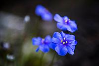 Pale Blue Fynbos Flowers, Heuningberg Nature Reserve, Bredasdorp, Western Cape, South Africa