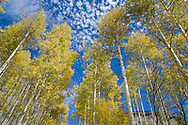 Aspen trees in fall in Crystal, Colorado.