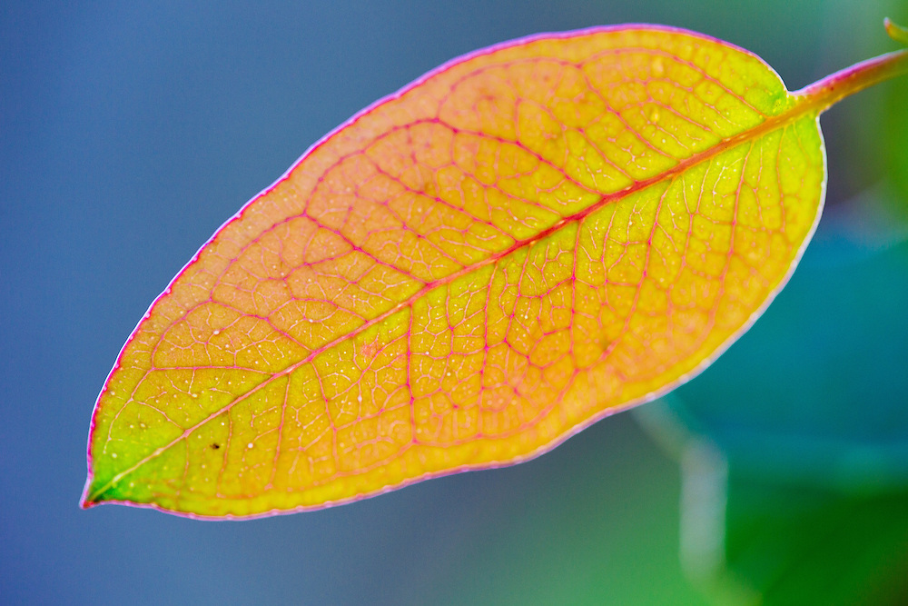 Colourful leaf detail of a young eucalyptus leaf growing high on the slopes of Mt Wellington, Tasmania.