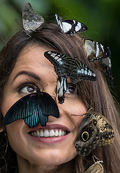© Licensed to London News Pictures. 12/01/2018. Wisley, UK. Jessie Baker attracts butterflies during a photocall for Butterflies in the Glasshouse at RHS Garden Wisley. Running from from 13 January - 4 March 2018 - over 50 species are let loose in the glasshouse to fly freely among the Tropical Zone to allow interaction with visitors.Photo credit: Peter Macdiarmid/LNP