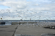 As the chilly days of autumn arrive, gulls take advantage of the heat retained by the warm surfaces of the piers at Chaudoir's Dock, in Wisconsin's Door County.
