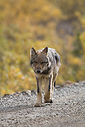 Wolf, Canis lupus, pup, autumn, walking on dirt road, Grant Creek pack, Denali National Park, Alaska, vertical, wild