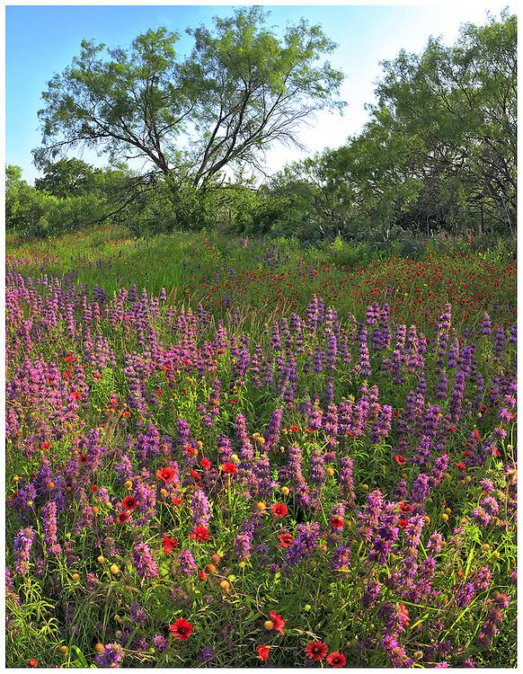Mesquite trees (Prosopis glandulosa), blanketflower (Gaillardia pulchella) and horsemint (Monarda citriodora), McCulloch County, TX / #HC281