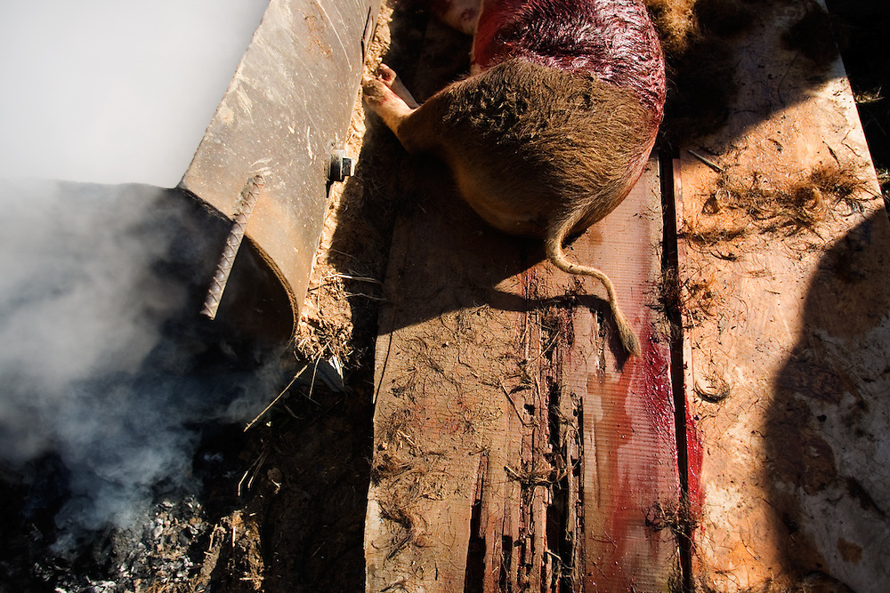 The body of a hog prior to being dunked in a vat of hot water to help remove the hair before it is butchered. In ceremony to honor the hogs the night before the slaughter, the young farmers gathered together with candles, said a few prayers and played ?Amazing Grace? on the fiddle.