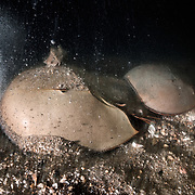 This is a pair of tri-spine horseshoe crabs (Tachypleus tridentatus) walking across the ocean bottom in shallow water just prior to spawning. The smaller male uses modified legs (pedipalps) to grasp onto the female in front. The female has just started to burrow into the substrate, a process which involves digging deep enough to bury the front part of her body (Prosoma) and much of her abdominal area (Opisthosoma) as well. When she eventually reaches acceptable depth and deposits eggs, the male will fertilize them. Females often deposit several clutches of eggs in the same general area before moving on to do the same in different locations.<br />