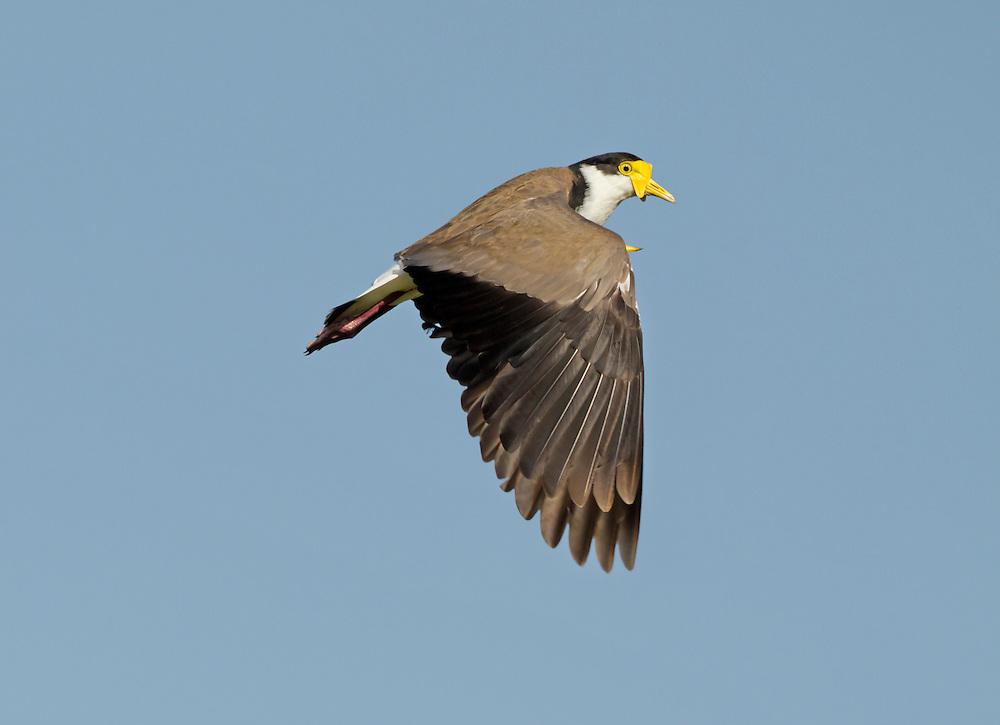 Masked Lapwing - Vanellus miles