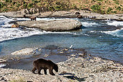 Dominant adult grizzly bears fish in the upper McNeil River falls at the McNeil River State Game Sanctuary on the Kenai Peninsula, Alaska. The remote site is accessed only with a special permit and is the world's largest seasonal population of brown bears.