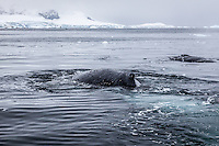 Humpbacks in Wilhemenia Bay, Antarctic Peninsula.