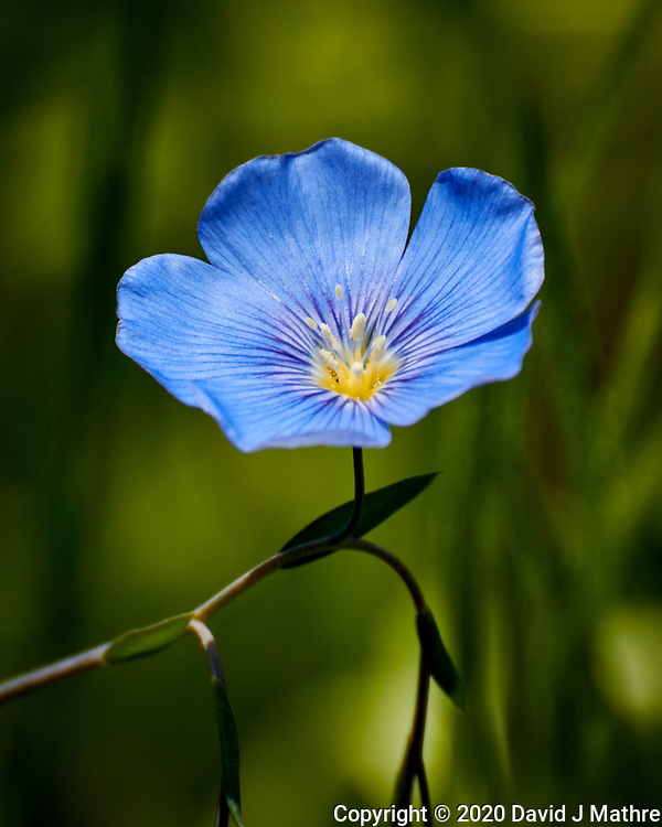 Flax Flower. Image taken with a Nikon N1V3 camera and 70-300 mm VR lens.