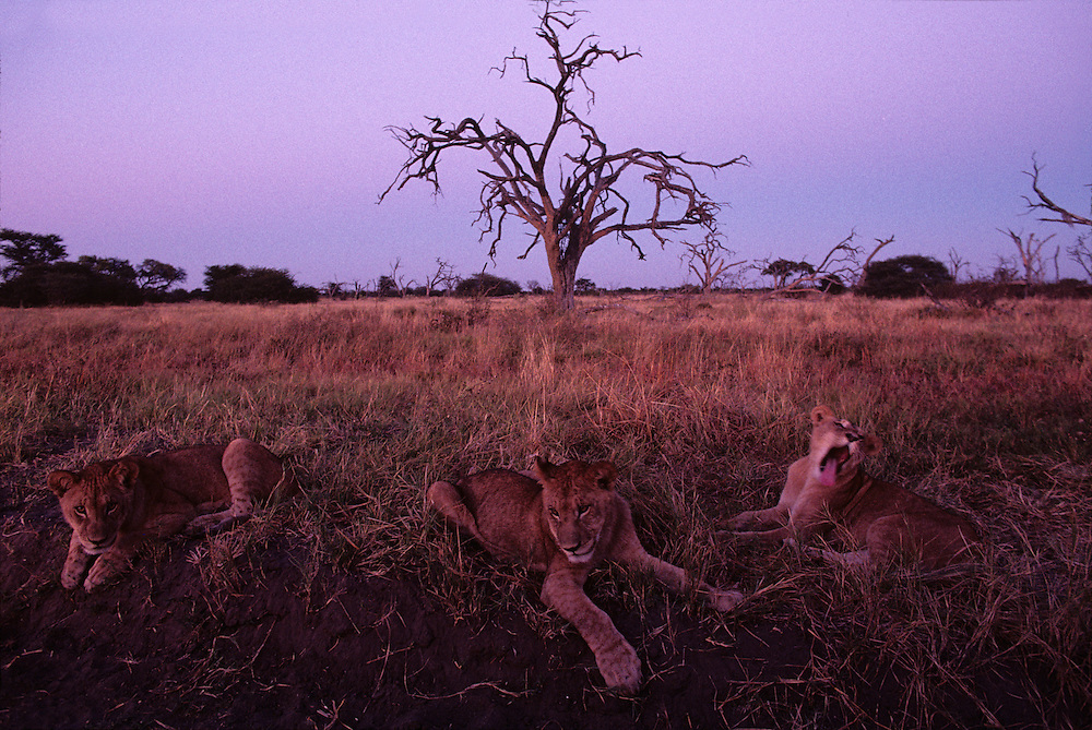 Africa, Botswana, Chobe National Park, Lion cubs (Panthera leo) rest in tall grass on Savuti Marsh before sunrise