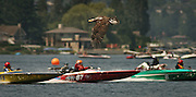 LO &quot;TASTIN N RACIN&quot; EVENT ON LAKE SAMMAMISH IN LAKE SAMMAMISH STATE PARK; HYDROPLANE RACES; EAGLE AND BOATS; JET SKIIS 061106<br /> <br /> As hydroplanes race on Lake Sammamish, an immature bald eagle carries on its search for prey near the beach in Lake Sammamish State Park.  The  I-90 Marine Center Cup featured two days of competitive racing of hydroplanes and jet skis. It was accompanied by a food fair called &quot;Tastin n Racin.&quot;