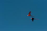 Scarlet Macaw (Ara macao)<br /> Rain Forest<br /> Iwokrama Reserve<br /> GUYANA<br /> South America<br /> RANGE: Extreme south - eastern Mexico to Amazonian Peru, Braziland Ecuador