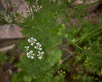 White Wildflowers (Carrot Like Plant). Image taken with a Leica CL camera and 18 mm f/2.8 lens.