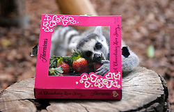 © Licensed to London News Pictures. 07/02/2013. Bristol, UK. Valentines at Bristol Zoo with ring tailed lemurs, given roses and cards, and fruit in a chocolate box.  07 February 2013..Photo credit : Simon Chapman/LNP