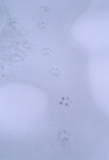 Lynx, Lynx Tracks, Tracks, Animal Tracks, Snow, Denali National Park, Denali,  Alaska