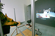 Vienna, Austria. Veterinärmedizinische Universität Wien (Vetmeduni Vienna).<br /> German shepherd Theo at the Clever Dog Lab.<br /> FREE ONLY FOR VETMEDUNI INTERNAL USE - ALL OTHERS MUST ACQUIRE PUBLICATION RIGHTS FROM HEIMO AGA!