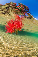 Pohutakawa flower in water from nearby tree overhanging estuary.<br /> Omaha, New Zealand