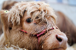 © Licensed to London News Pictures.16/07/15<br /> Harrogate, UK. <br /> <br /> A young calf lies on the straw on the final day of the Great Yorkshire Show.  <br /> <br /> England's premier agricultural show has seen three days of showcasing the best in British farming and celebrating the countryside.<br /> <br /> The event which attracts over 130,000 visitors each year displays the cream of the country's livestock and offers numerous displays and events giving the chance for visitors to see many different countryside activities.<br /> <br /> Photo credit : Ian Forsyth/LNP