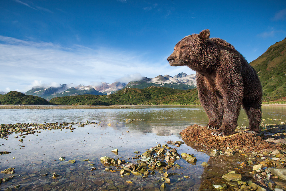 USA, Alaska, Katmai National Park, Coastal Brown Bear (Ursus arctos) fishing for spawning salmon in stream along Kinak Bay