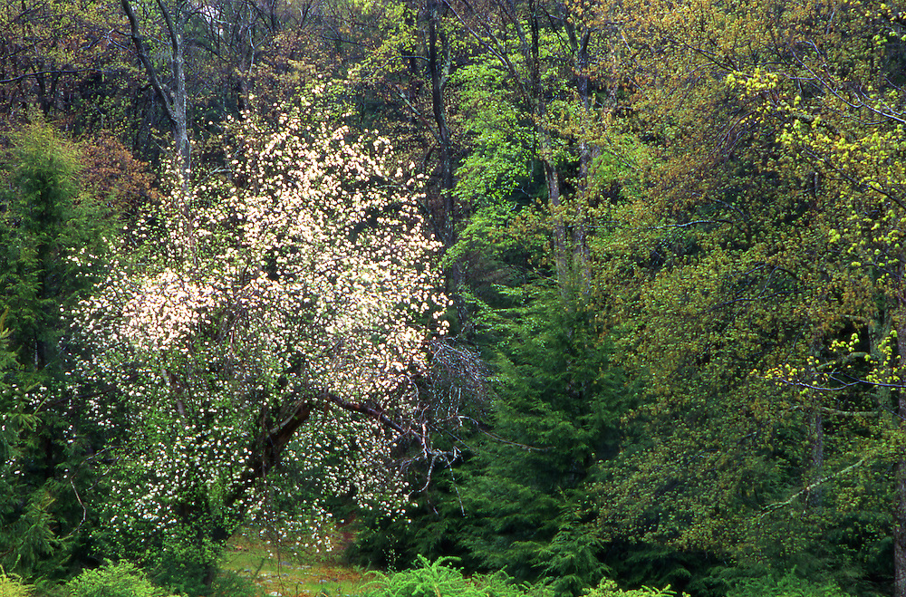 PA landscapes, Tuscarora State Forest, Perry Co., PA, Spring Falowers and Leaves Spring, Pennsylvania