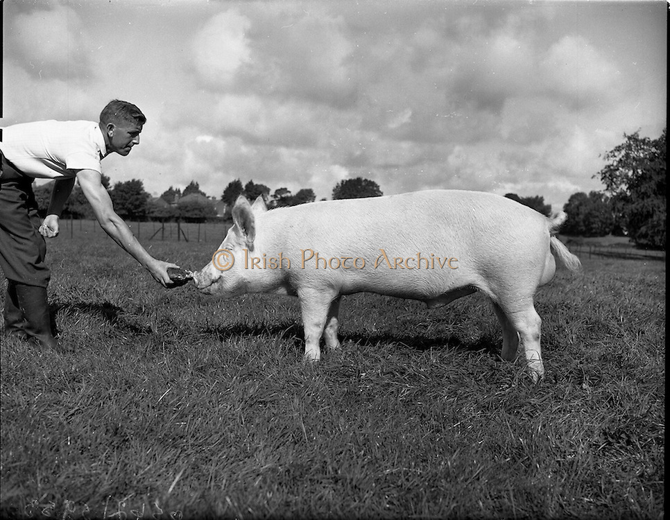 12/09/1960<br /> 09/12/1960<br /> 12 September 1960<br /> Boars at Whitehall, Drumcondra for the Department of Agriculture. Boar No. 1693.