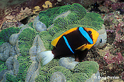orangefin, orange-fin, or two-banded anemonefish, Amphiprion chrysopterus, in anemone, Stichodactyla mertensii, Vitu Islands, Papua New Guinea ( Bismarck Sea )