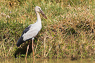 An asian openbill stands in shallow water next to a field, Tamil Nadu, India.