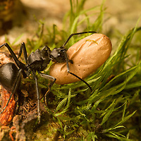 Ant carrying egg in Sarawak, Borneo