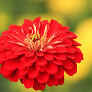 """Zinnia Orange King""<br />