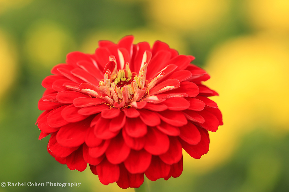 &quot;Zinnia Orange King&quot;<br /> <br /> Brilliant deep orange Zinnia on a yellow and green background!!<br /> <br /> Flowers and Wildflowers by Rachel Cohen