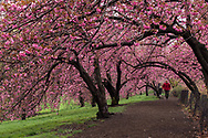 Jogger under the Cherry blossoms along the Reservoir in Central Park.