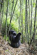 Mountain Gorilla<br /> Gorilla gorilla beringei<br /> Silverback in bamboo forest<br /> Parc National des Volcans, Rwanda<br /> *Endangered species