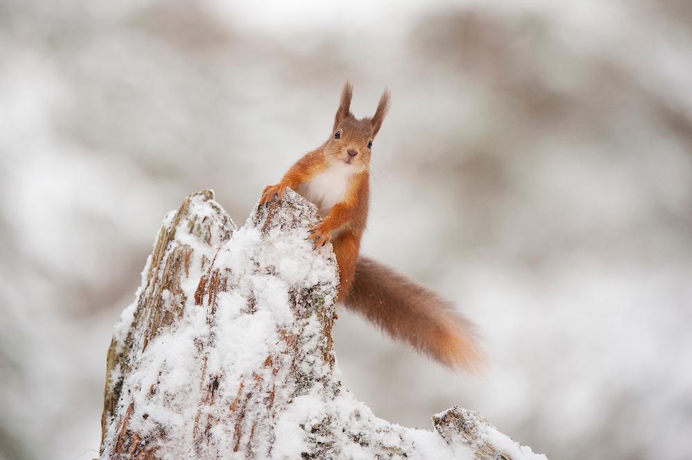 Red squirrel (Sciurus vulgaris) on pine stump in snow, Scotland, December