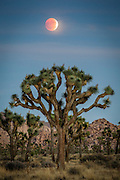 Not seen since 32 years ago in 1982, the Supermoon has once again coincided with a lunar eclipse in September 27th 2015, as well as with the harvest moon.  With the moon being closer in its oval orbit to the sun by an extra 20,000 miles, the moon appears larger.  At Joshua Tree National Park, we were treated to a stunning partial eclipse rising above the horizon, which then progressed to quite a lengthy full eclipse.