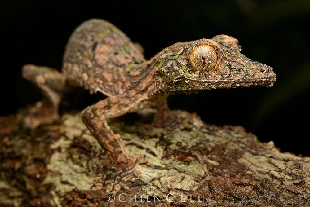 Giant Leaf-tailed Gecko (Uroplatus fimbriatus) from Masoala National Park. Antsiranana, Madagascar.