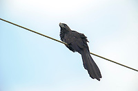 Smooth-billed Ani (Crotophaga ani) perched on wire, Mato Grosso, Brazil