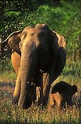 A baby elephant (Elephas maximus maximus) walks next to her mother.