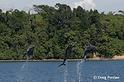 bottlenose dolphins, Tursiops truncatus, jumping during performance at Ocean Adventure park, Subic Bay, Philippines