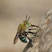 Amegilla quadrifasciata (Apidae) bee. Chaloem Phrakiat Thai Prachan National Park, Thailand.