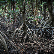 A mangrove is a shrub or small tree that grows in coastal saline or brackish water. The term is also used for tropical coastal vegetation consisting of such species. Mangroves occur worldwide in the tropics and subtropics, mainly between latitudes 25° N and 25° S.