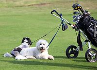 SANDWICH (GB) - Dogs on the golfcourse. The Prince's Golf Club. COPYRIGHT KOEN SUYK